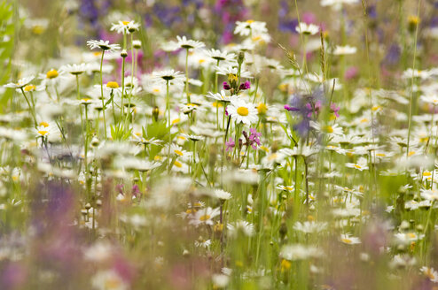 Daisy flowers in summer meadow - EKF00612