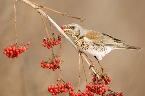 Fieldfare, Turdus pilaris, eating rowan berries - EK00741