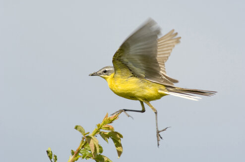 Yellow wagtail, motacilla flava - EK00738