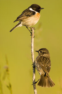 Common stonechats sitting on branch, saxicola torguata - EK00735