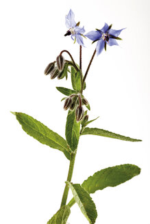 Flowering borage, close-up - 04286CS-U