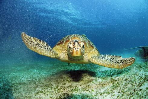 Philippines, green sea turtle (Chelonia mydas) - GNF00752