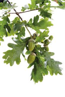 Acorns and oak leaves - 04796CS-U