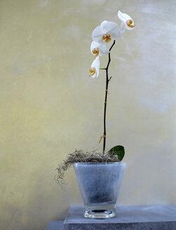 Orchid in flowerpot - HOE00209