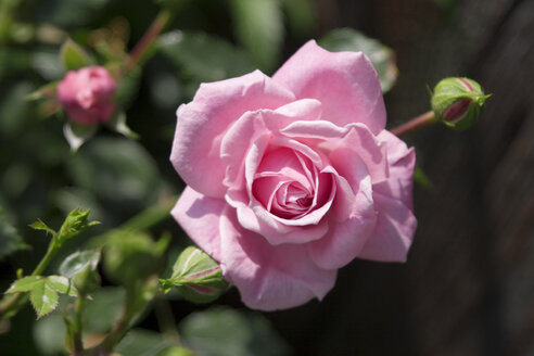 Single rose blossom, bottom view, close-up - LFF00059
