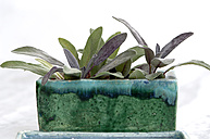 Sage in tone pot - ASF02760