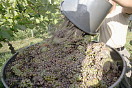 Wine harvest in vineyard - WESTF03813