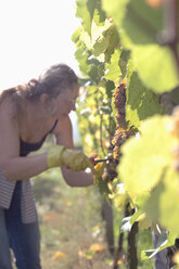 Woman cutting grapes in vineyard - WESTF03807