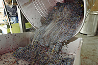 Harvested wine grapes falling in to tray, (blurred motion) - WESTF03777