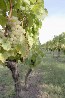 Germany, vineyards - WESTF03747