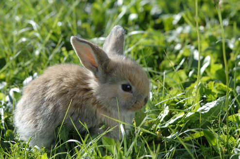 Rabbit in meadow, close-up - CRF01070