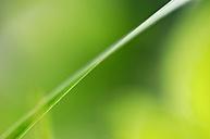 Blade of grass, close-up - SMF00070