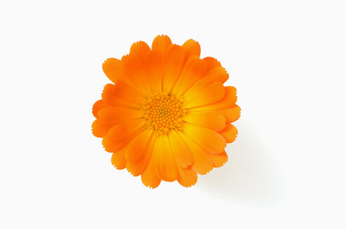 Calendula officinalis, close-up - CRF01126
