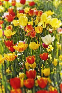 Munich, Bavaria, Botanic Garden, Red and yellow tulips - MBF00663