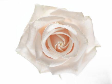 Rose flower, close-up - KMF01030
