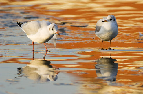 Black-headed gulls, close-up - EKF00852