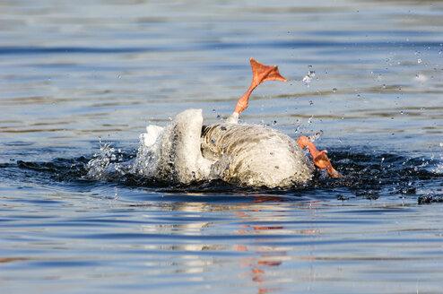 Diving grey goose, close-up - EKF00843