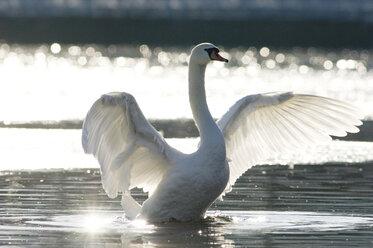 Mute swan, close-up - EKF00828