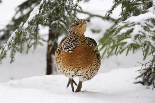 Capercaillie walking in snow - EKF00804