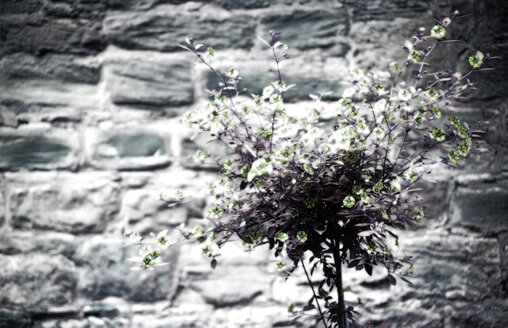 Shrub against wall, close-up - TL00012