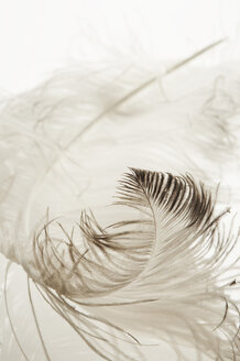 Ostrich feather, close-up - TLF00029