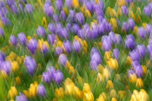 Bed of crocuses, blurred - SMF00084