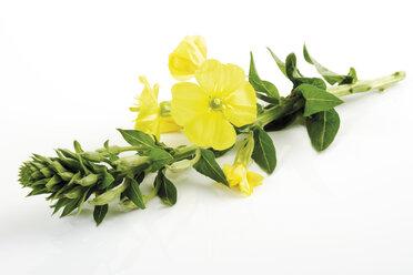 Evening primrose, close-up - 06903CS-U