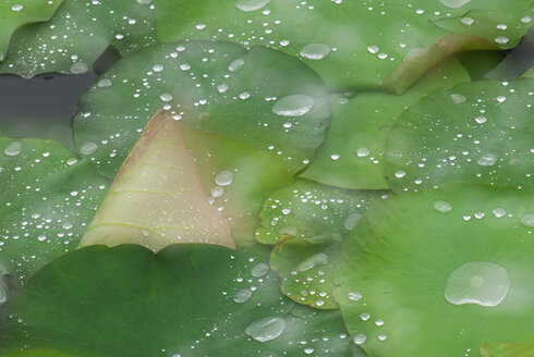 Waterdrops on lotus leaves (Nymphaea), close-up - SMF00123
