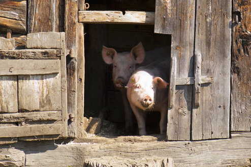 Pigs in stable, close-up - HHF01542