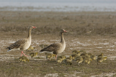 Grey geese with poults, close-up - EKF00880