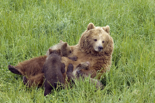 Brown bear with cub - EKF00859