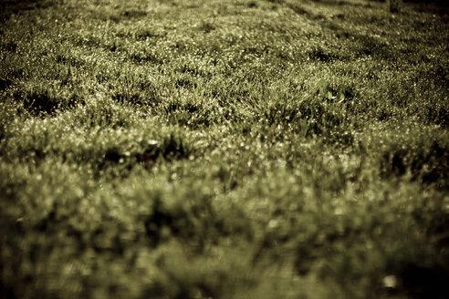 Germany, Pforzheim, Green grass, close-up - DW00151