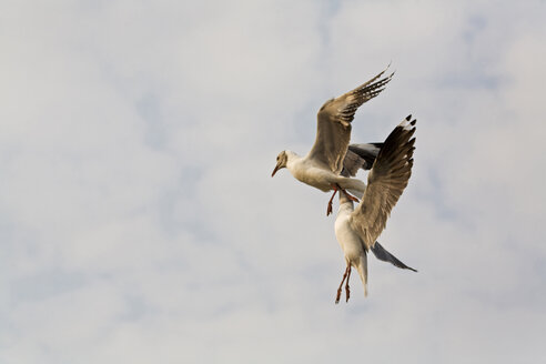 Grey-headed seagulls, flying - FOF00346