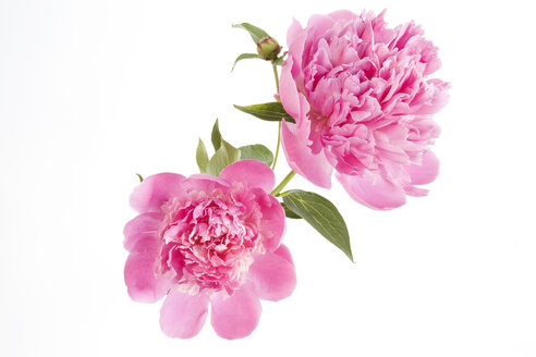 Peonies, close-up - GWF00498