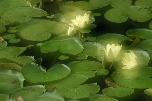 Waterlilies, close-up - SMF00193
