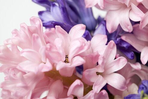 Hyacinth blossoms (Hyacinthus), close-up - MNF00142