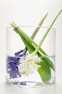 Hyacinths in flower vase, (Hyacinthus) - MNF00136
