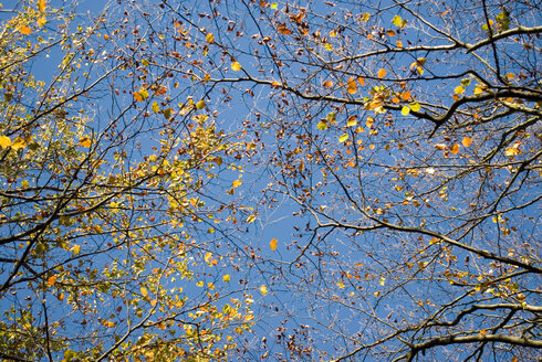 Autumnal trees, view from below - MUF00085