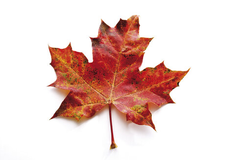 Autumn colored maple leaf - 08379CS-U