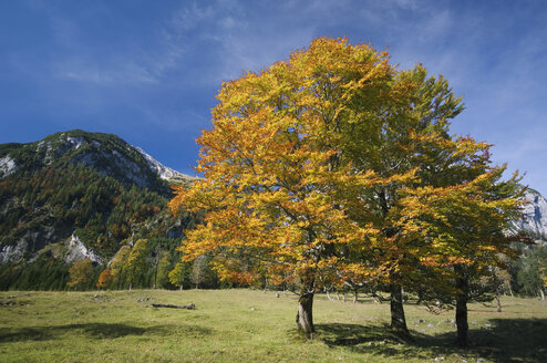 Austria, Ahornboden, Autumnal maple tree - EKF00929