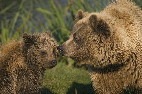 Brown bear with cub (Ursus arctos) - EKF00889