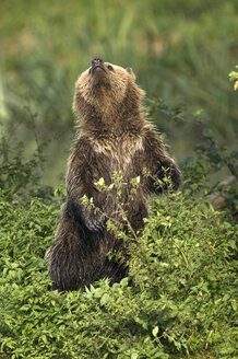 European Brown bear (Ursus arctos) - EKF00886