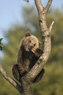 European Brown bear in tree (Ursus arctos) - EKF00883