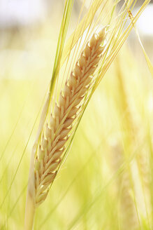 Barley (Hordeum vulgare), panicles, close up - RDF00286