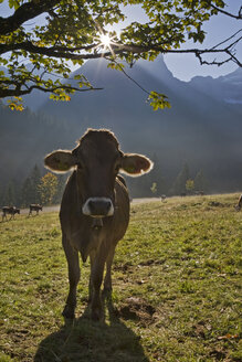 Austria, Tirol, Karwendel, Cows on meadow - FOF00594