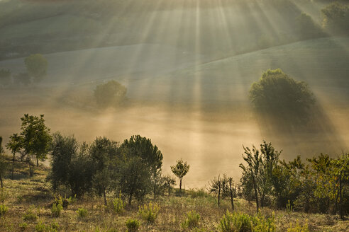 Italy, Tuscany, Olive trees in morning mist - FOF00528