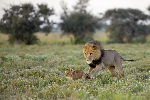 Africa, Botswana, Adult male lion (Panthera leo) and cub - FOF00713