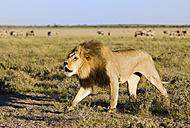 Africa, Botswana, Adult male lion (Panthera leo) - FOF00701