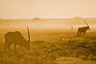 Africa, Botswana, Gemsbok herd (Oryx gazella) - FOF00698