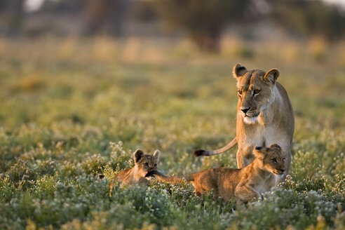 Africa, Botswana, Lioness (Panthera leo) with cubs - FOF00680